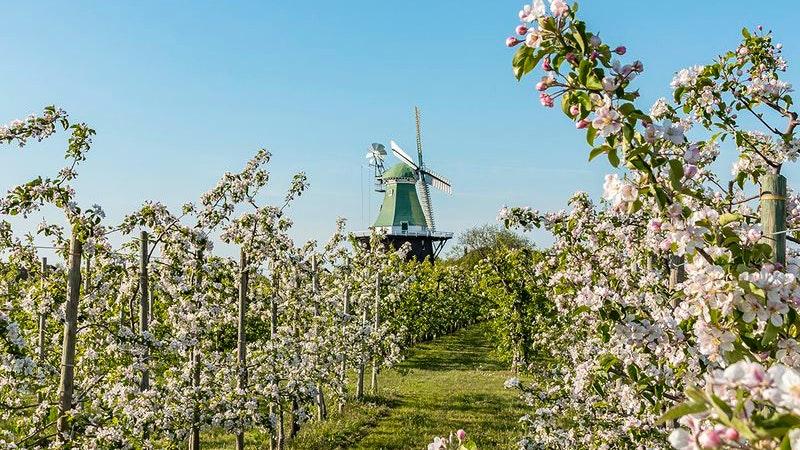 Kirschblüte im Alten Land mit Windmühle