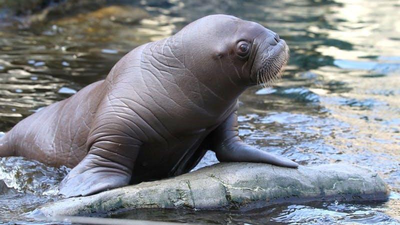 Das Walross-Baby aus Hagenbecks Tierpark bei seiner ersten Schwimmstunde
