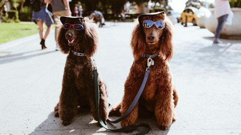 Hunde mit Sonnenbrillen