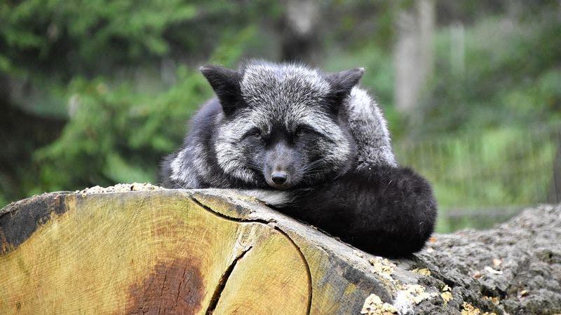 Ein Grauwolf im Wildpark Schwarze Berge
