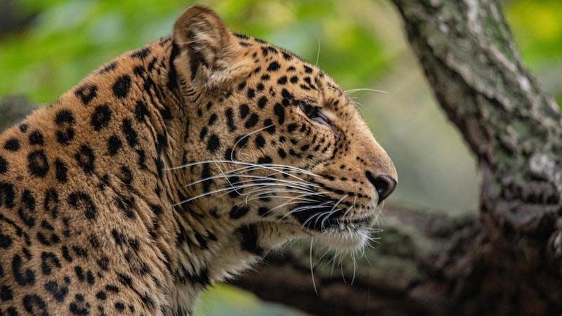 Leopard im Tierpark Hagenbeck