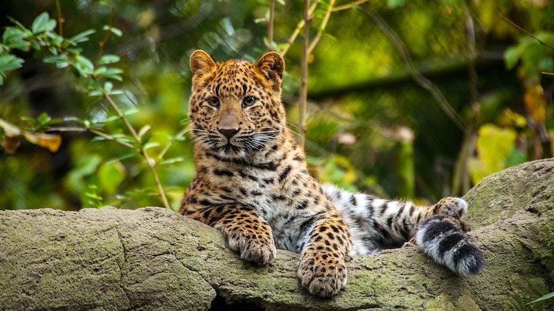 Leopard Tierpark Hagenbeck
