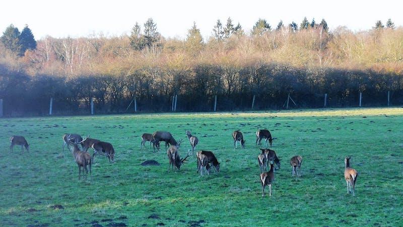 Rehe und Hirsche im Klövensteen