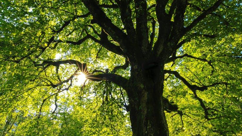 Baum, Natur, Umwelt, Klima, Symbolbild