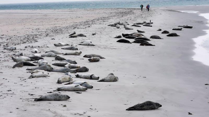 Robben am Strand auf Helgoland