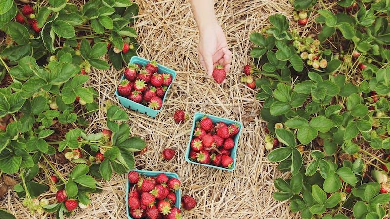 Erdbeeren pflücken auf dem Feld