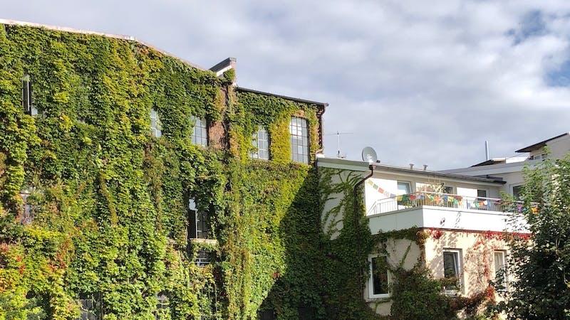 Wilder Wein an der Fassade der Alten Druckerei Ottensen